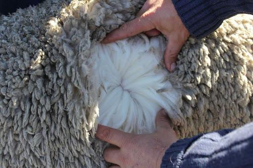 پشم گوسفندان مناسب برای فرش